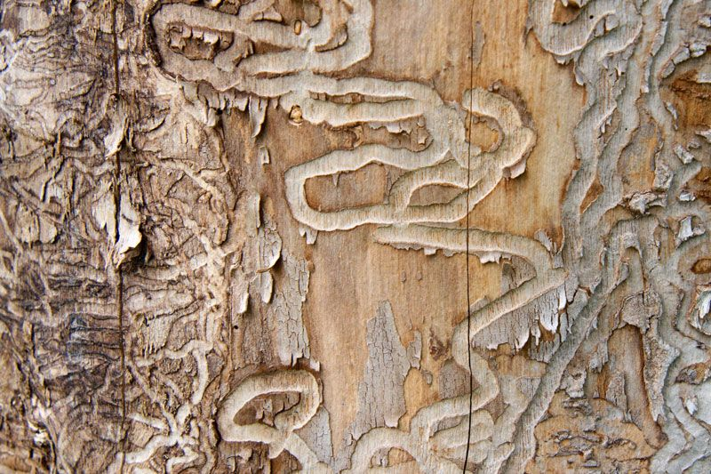 Photo of Emerald Ash Borer Eggs on the Outside of an Ash Tree