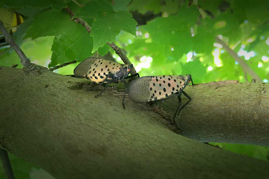 spotted lanternflies on a tree branch