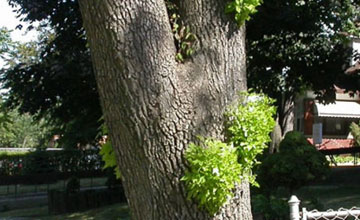 Epicormic Sprouting caused by the Emerald Ash Borer