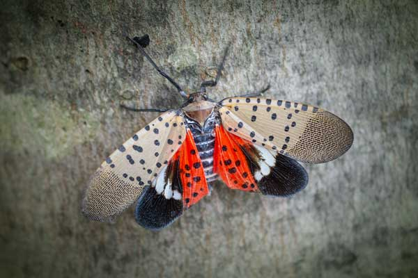 Close-up Image of Spotted Lanternfly