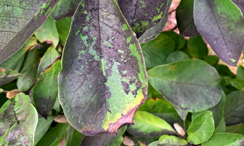 leaves damaged by the Spotted Lanternfly