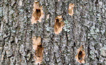 woodpecker feeding caused by Emerald Ash Borer Infestation
