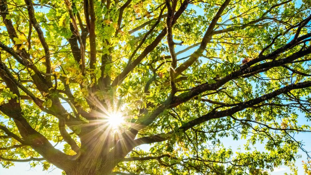 Oak Tree Shining in Sunshine