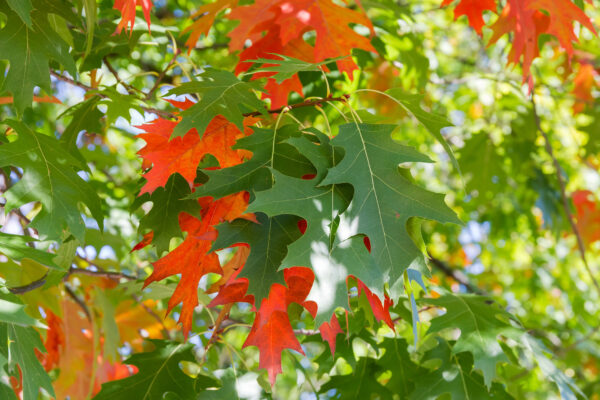Oak Branches in Early Fall