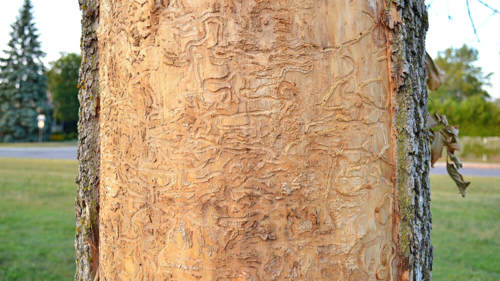 Tree trunk with emerald ash borer damage