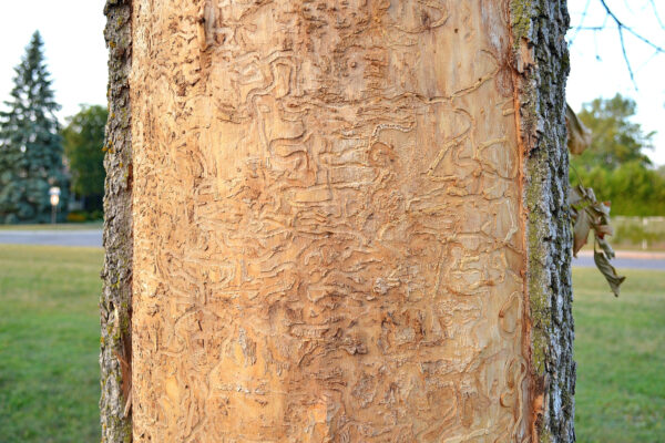 What Are the Different Types of Tree Borer Insects?