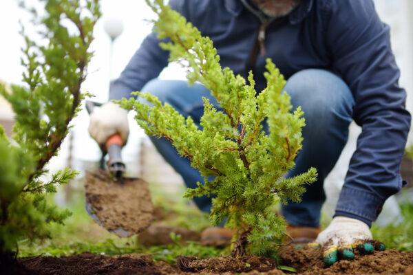 Gardener planting a juniper plant